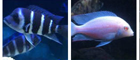 cichlid, wholesale and exporter tropical fish