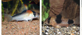 corydoras, wholesale and exporter tropical fish