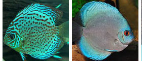 discus, wholesale and exporter tropical fish