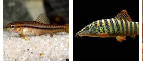 loach, wholesale and exporter tropical fish