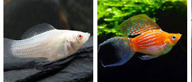 molly, wholesale and exporter tropical fish