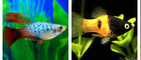 platy, wholesale and exporter tropical fish