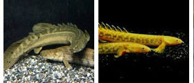polypterus, wholesale and exporter tropical fish